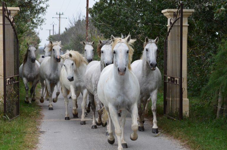 Kairos Travel_Camargue Horses - Philip Haslett
