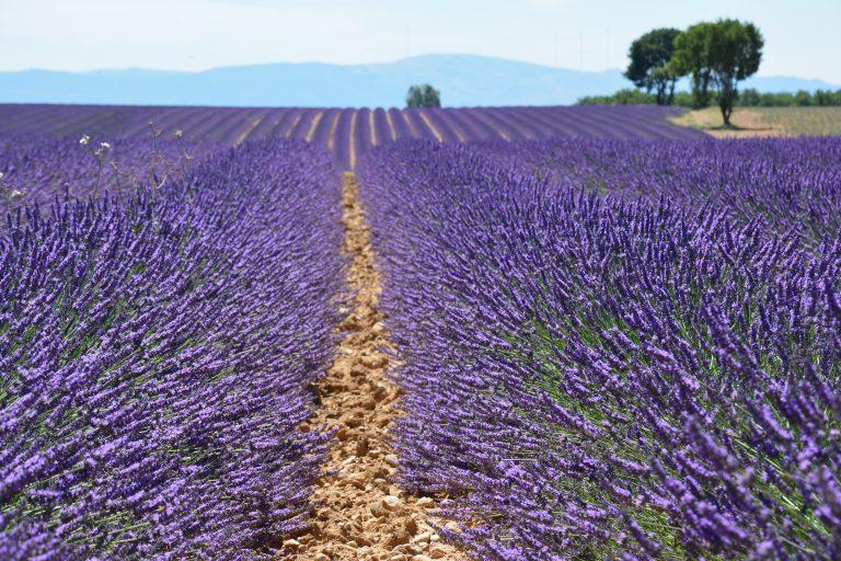 Kairos Travel_Lavender Valensole 2 - Philip Haslett